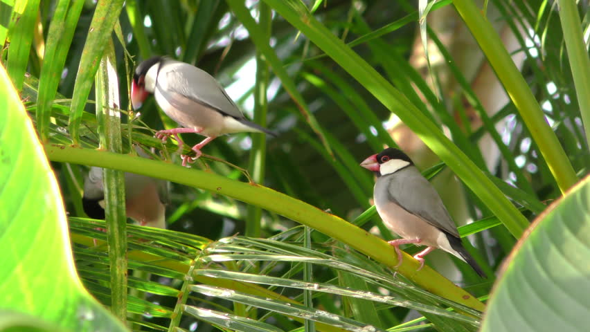 Java Sparrow Several Alien Exotic Species in Hawaii | Shutterstock HD Video #1015046218