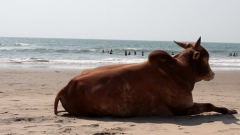 Cow zebu on the beach. Look at the swimmers and kite surfing. Arabian sea, Goa