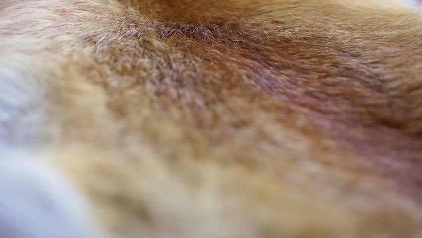 Closeup top view of texture colorful real fox animal fur. Natural furry background. Real time 4k video footage.