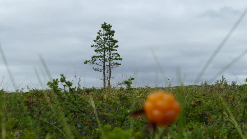 Small pine and stunted shrubs on the background of the cloudy sky in the polar tundra. Cloudberry in the foreground. Lapland, cloudy summer day.