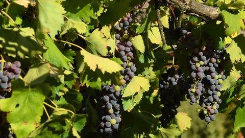 red grapes on vineyards in Chianti region. Tuscany, Italy. 4K UHD Video. Nikon D500