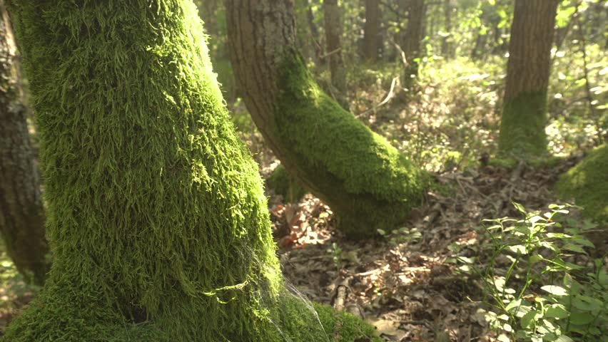 Moss On Tree Trunks. Forest And Trees Covered With Moss.