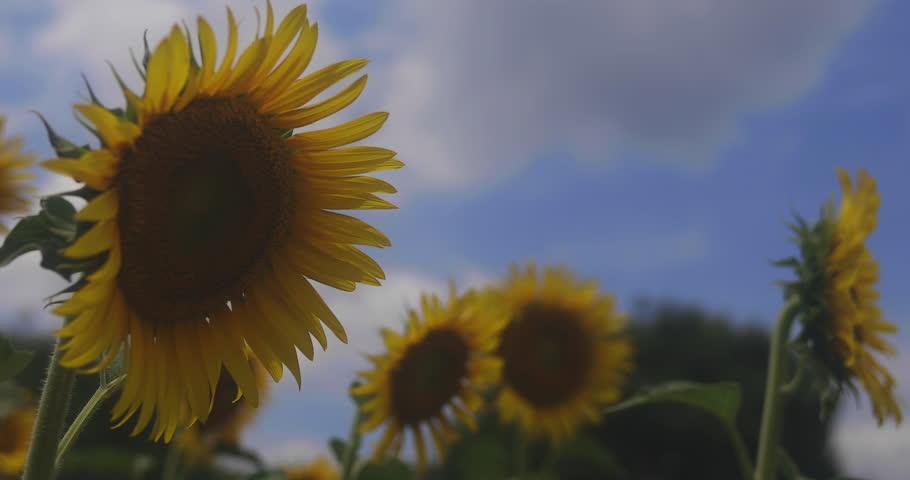 Tachikawa-shi Tokyo / Japan - 07.28.2018 : Its a sunflower park in Tokyo. 4K. camera :    Shutterstock HD Video #1015116328