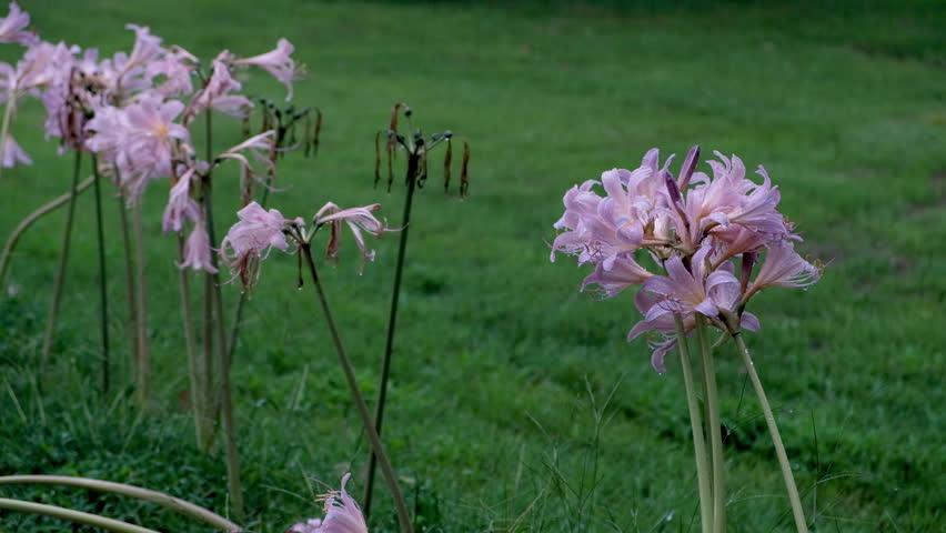 Violet flowers during a summer rainstorm | Shutterstock HD Video #1015264138