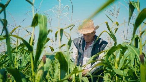 Farmer in corn field tears corn. An elderly man in a straw hat walks a cornfield and checks the future crop