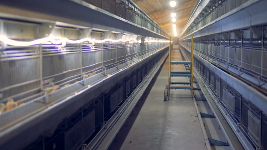Baby chickens are pecking grain in a henhouse unit. Poultry interior. | Shutterstock HD Video #1015336348