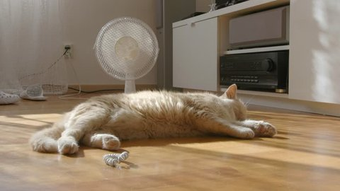 Cat sleeping in front of a fan on a wooden floor in a war summer day.