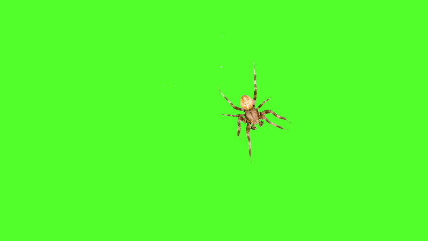 Bug spider runs around the screen on a green background. One click selection and overlay in the video editor