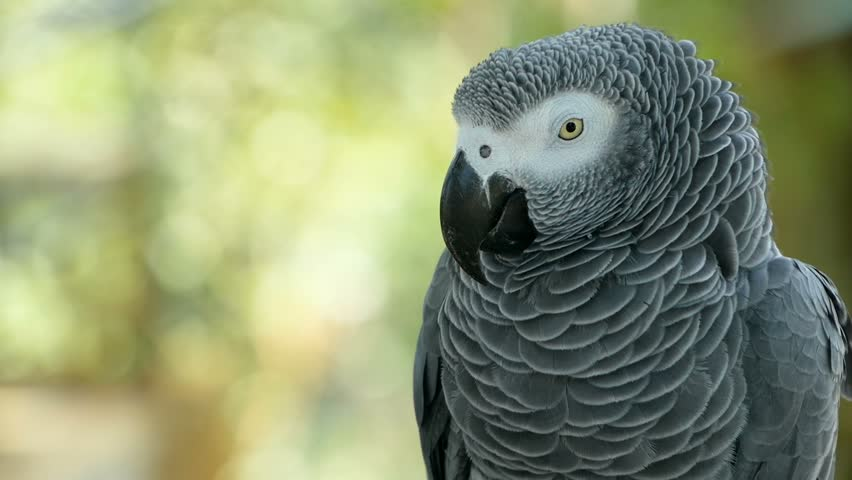 Red-tailed monogamous African Congo Grey Parrot, Psittacus erithacus. Companion Jaco is popular avian pet native to equatorial region. Exotic bird in tropical forest. | Shutterstock HD Video #1015395658