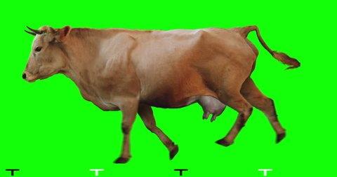 Red cow runs on a transparent background. Cyclic animation. Green Screen. Can also use as a silhouette.