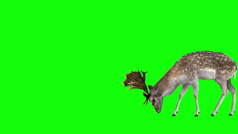 Fallow deer grazing. Two variations with and without horns(Buck and Doe). Green Screen. Cyclic animation with the horizontal movement 1943 pixels for 4K (971 for HD).