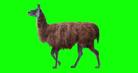 Red llama walking. Isolated and cyclic animation. Green Screen.