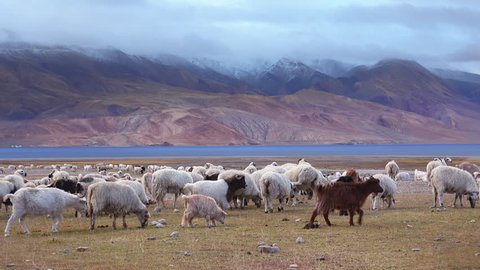 Group of sheeps and Kashmir Pashmina goats grazing, eating grass near Tso Moriri lake at Himalaya mountains. Astonishing pastoral scenery with herd of domestic animals at highland. Ladakh, India