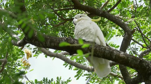 Wild sulphur-crested cockatoo (Cacatua galerita) sleeping in a tree in Australia