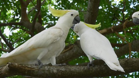 Group of wild sulphur-crested cockatoos (Cacatua galerita) interacting in a tree in Australia