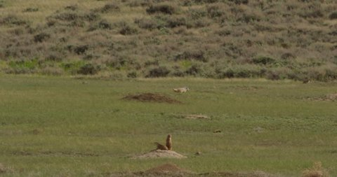 Badger hunting around prairie dog colony inspecting burrows in evening light