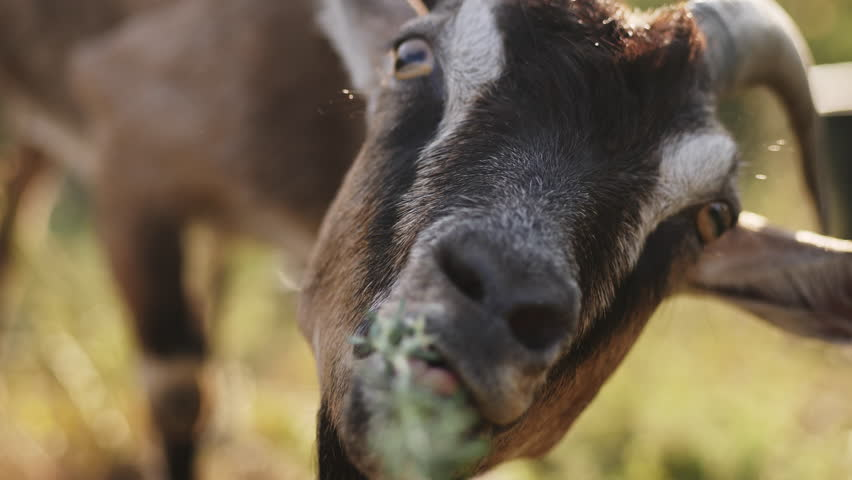 A man feeds a goat with grass from his hands. Closeup slow motion video