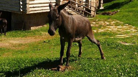 a donkey doing piss, donkey hd video,