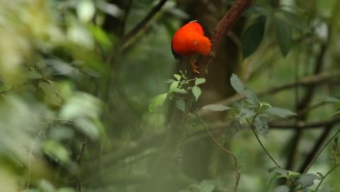 Male of Andean Cock-of-the-rock (Rupicola peruvianus) lekking and dyplaing in front of females, typical mating behaviour, beautiful orange bird in its natural enviroment, amazonian rain forest, Brazil