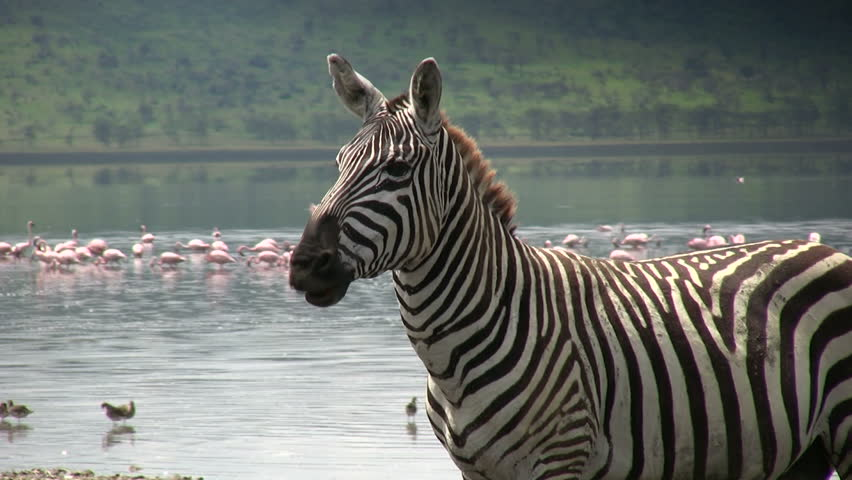 A zebra moving his lips as if talking to himself.  | Shutterstock HD Video #1015586908