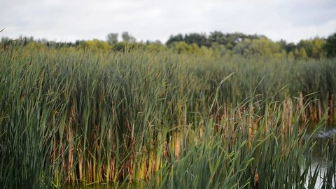 serene pastoral setting of cattails on a quiet pond. natural landscape of softly moving grasses