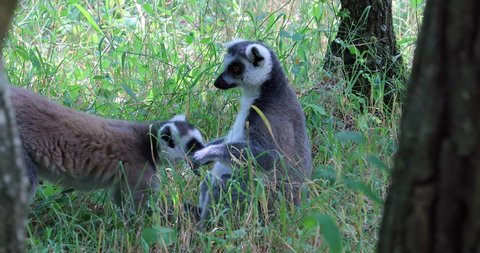 Couple Of Ring Tailed Lemur (Lemur Catta) In Nature, Close Up View - DCi 4K Resolution