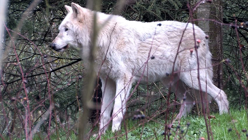 The camera tracks to a gray wolf in the forest. | Shutterstock HD Video #1015713388