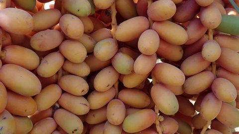 Closeup, Ripe yellow fruits dates swaying to the wind on date palm