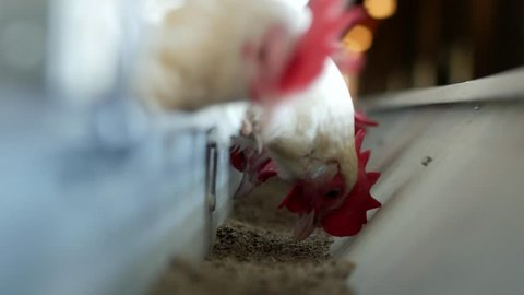 Poultry farm for breeding chickens and eggs, chickens pecking feed, close-up, ranch hens, chicken