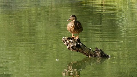 Mallard sitting by water. Wild duck on the tree by lake. Summer lake and mallard.