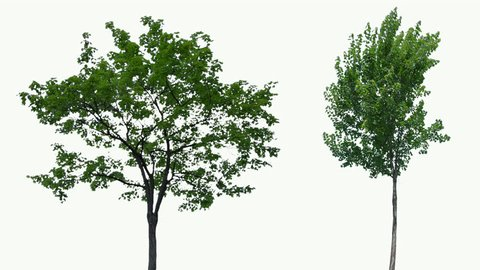 High quality 10bit footage of trees on the wind isolated on white background.  Made from 14bit RAW.