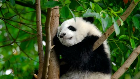 Giant panda bear cub on a tree. Chengdu, Sichuan, China