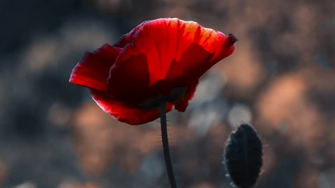 Poppy cultivation.A large red poppy with a white border.A light breeze drives the poppy.The flower is odorless.