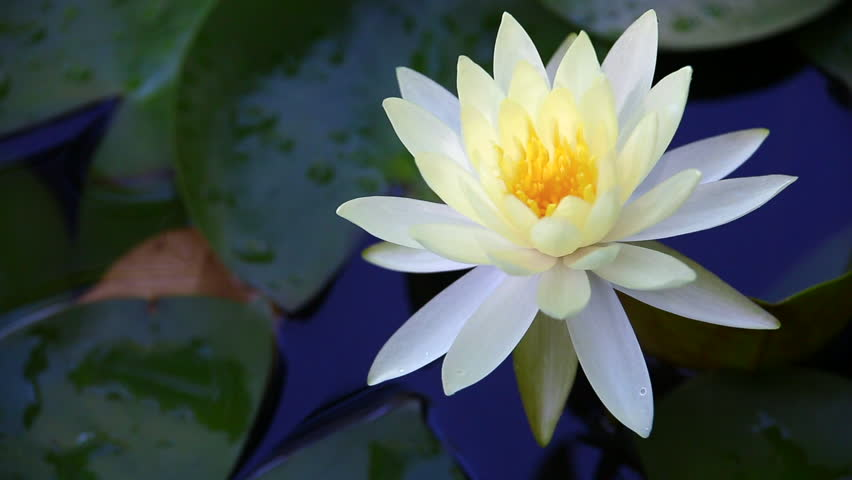Hd Beautiful White Lotus Flower Stock Footage Video 100 Royalty