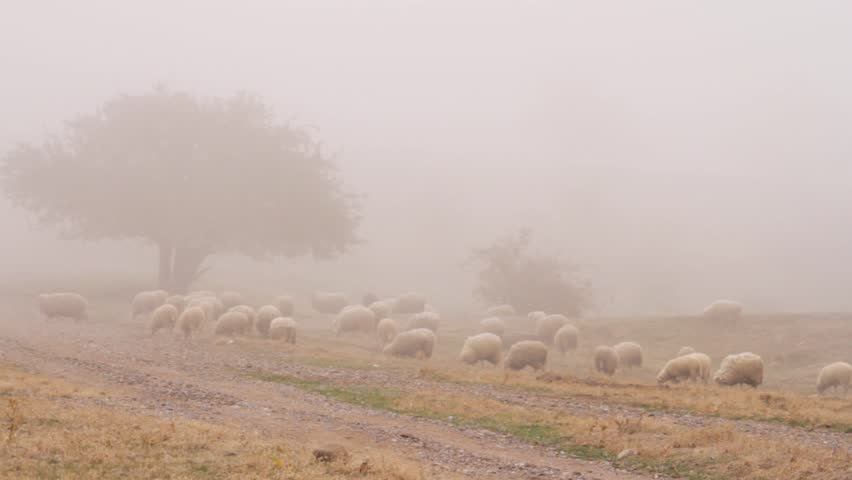 Heard of sheep in foggy morning in autumn mountains. Shot. Sheep on pasture in fog