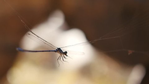 Close-up damselfly struggling in spiderweb