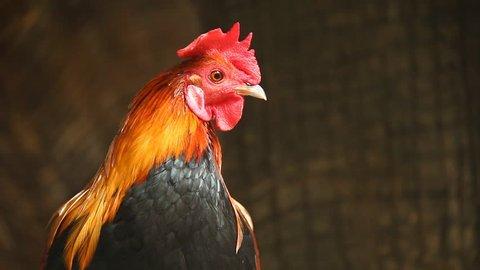 Close up Thai cock