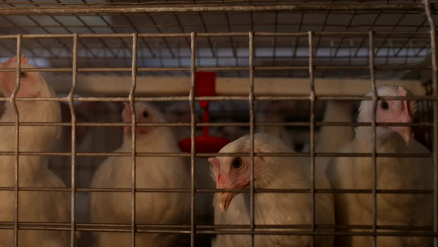 Breeding broiler chickens and chickens, broiler chickens sit behind bars in the hut, poultry house, farming