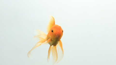 Gold fish happy swimming on white screen