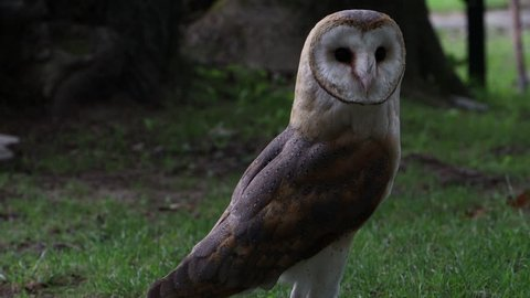 barn owl looking a fly away in the end