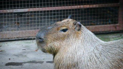 The giant brown capybara ( Hydrochaeris hydrochaeris ). Capybara is the world's largest rodents.