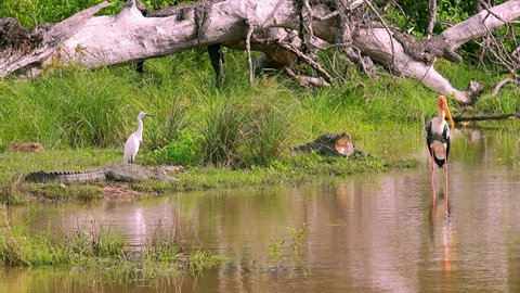 Wildlife scene with pair of mugger crocodiles lying with open mouth on bank of shallow pond, snowy egret and painted stork standing nearby. Wild species inhabiting Yala National Park, Sri Lanka.