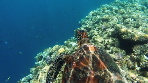 Green Sea Turtle in Beautiful Blue Clear Water Comes up to the Surface, Great Barrier Reef, Australia