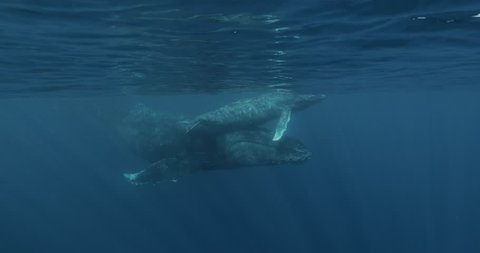 Slow motion of Mother and Calf Hump back whale