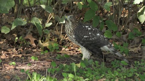 Cooper's hawk eats its prey on the ground
