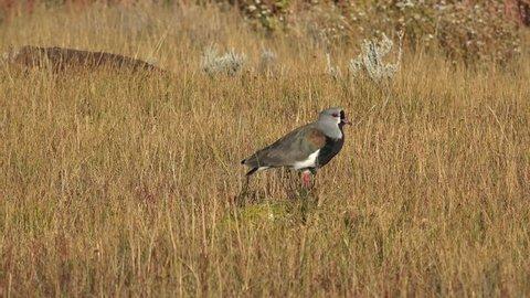 Southern lapwing (Vanellus chilensis)  in Laguna Nimez nature reserve. El Calafate, Santa Cruz Province, Patagonia, Argentina
