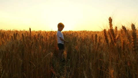 A child tears a wheat ear in the field against the background of a sunset. The farmer's son is harvesting wheat.
