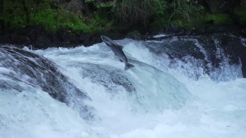 Slow Motion Salmon Jumping Upstream