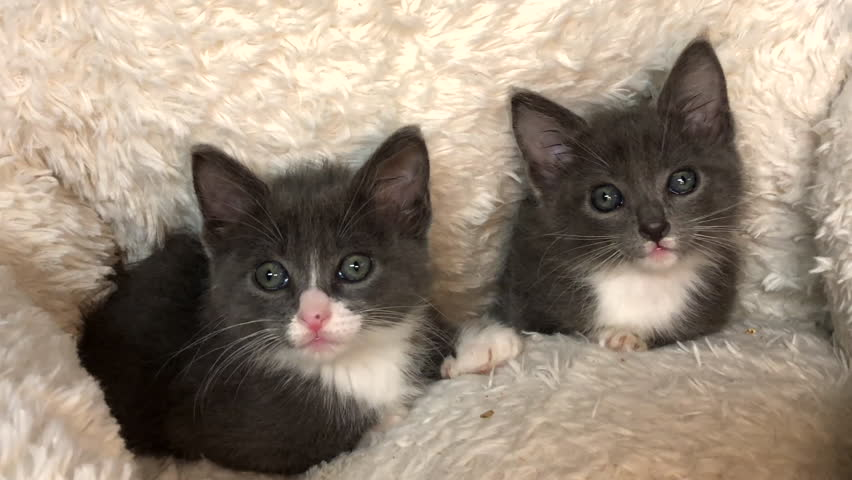 4K HD video of Two adorable fluffy grey and white kittens laying in a sheepskin bed looking up watching objects flying back and forth in the room.