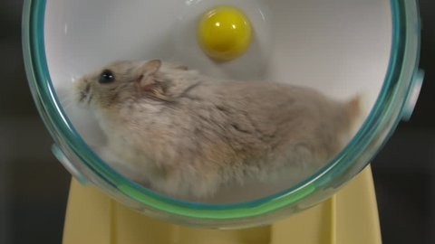 Close-up of a beige dwarf hamster running on a hamster wheel in slow motion